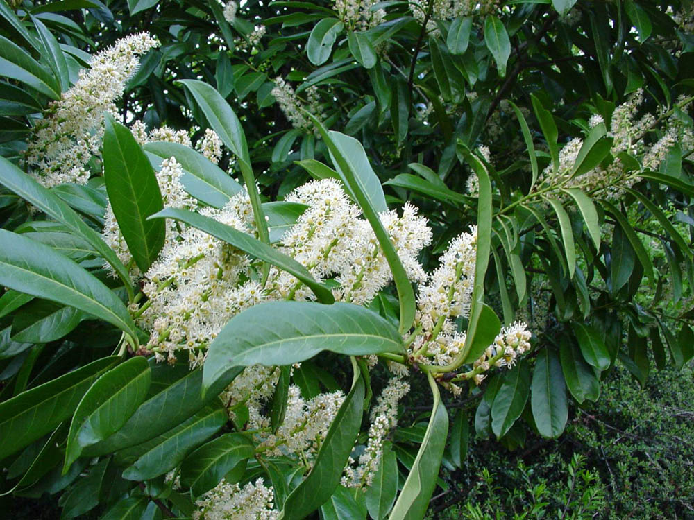 """cherry laurel flowers"