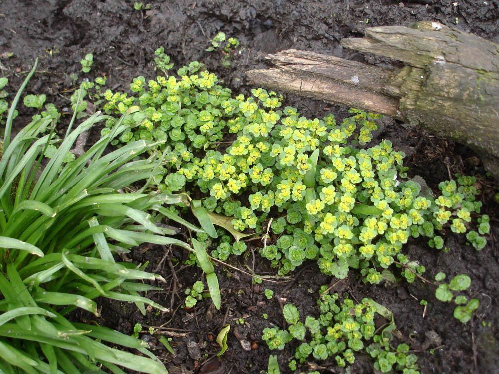 """golden saxifrage in bog"