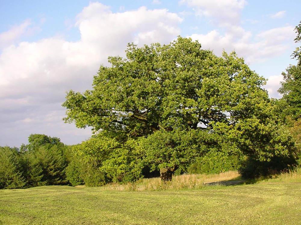 """""""mature field oak"""