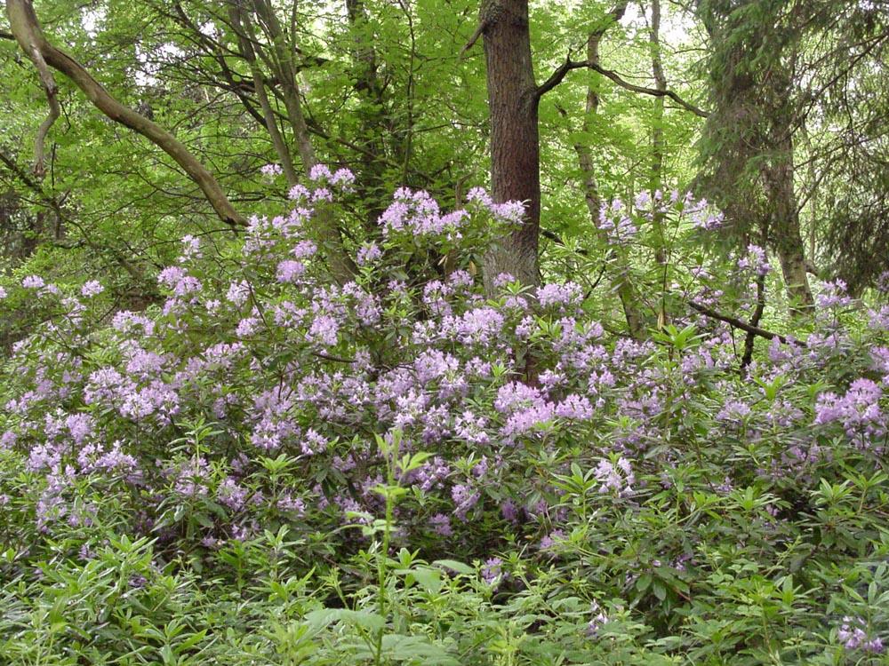 """Rhododendron ponticum"