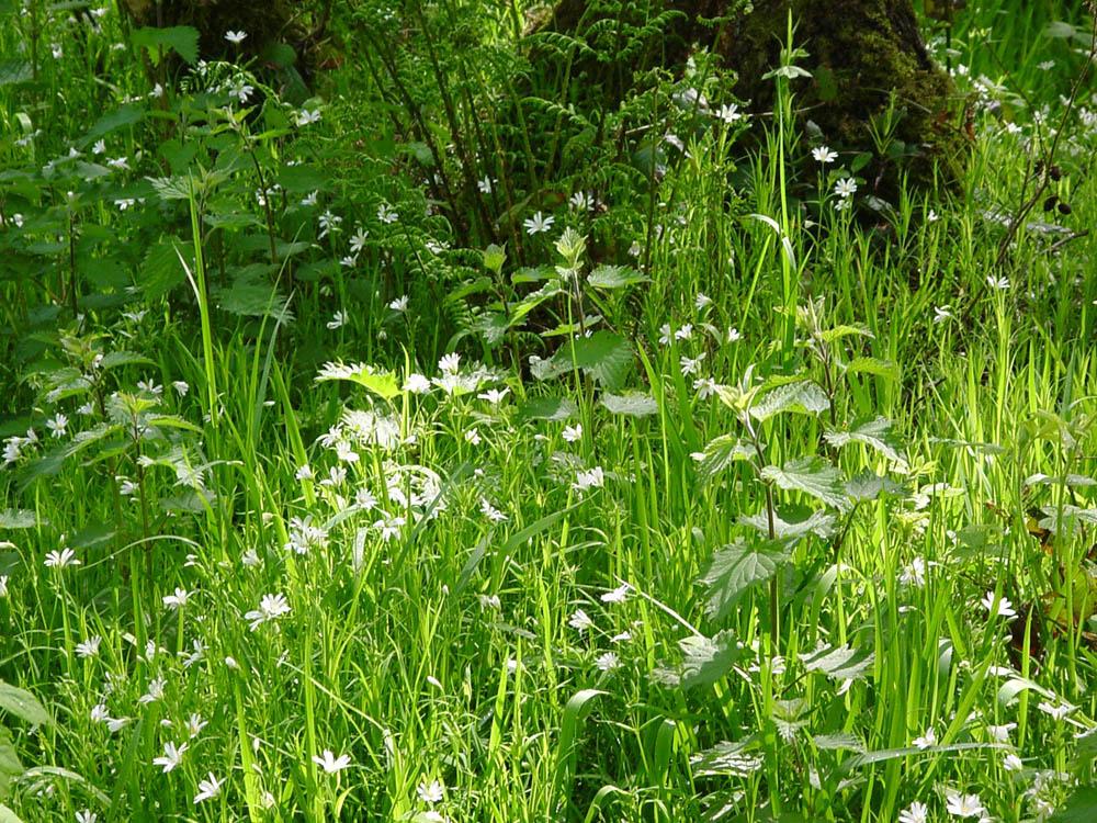 """creeping soft grass, stitchwort and stinging nettle"
