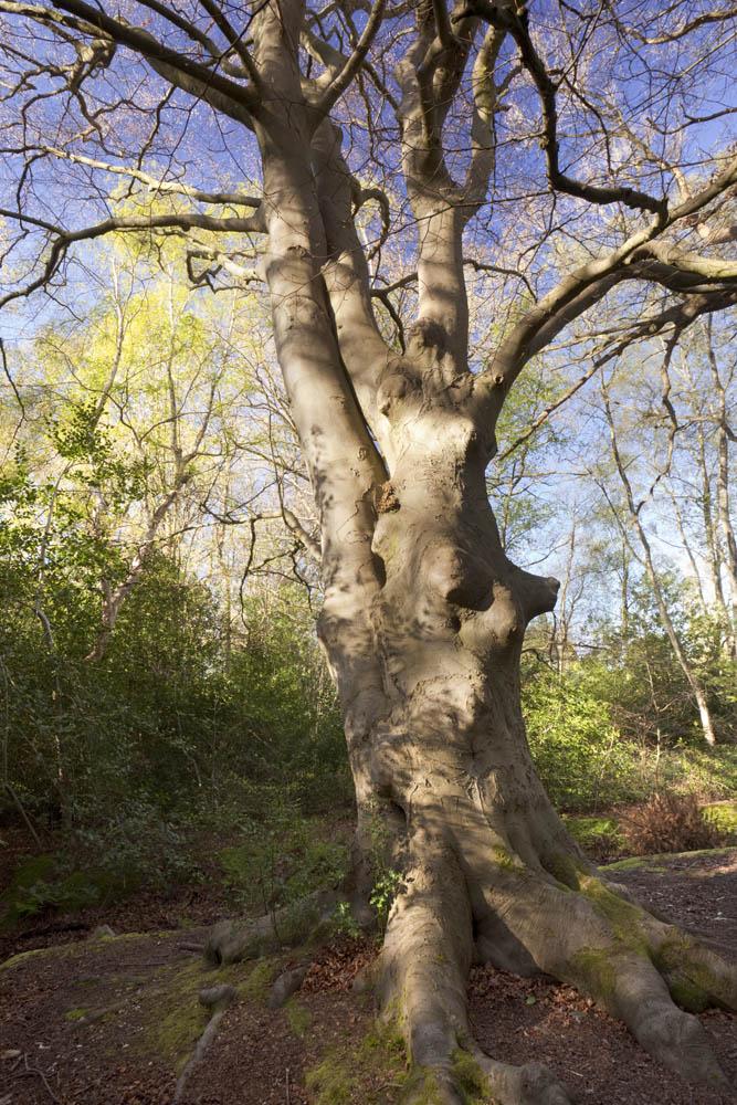"""""veteran beech tree"