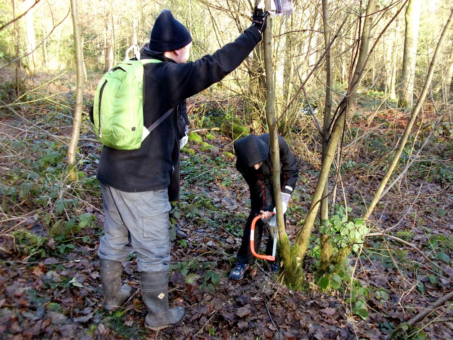 """volunteers coppicing a hazel"