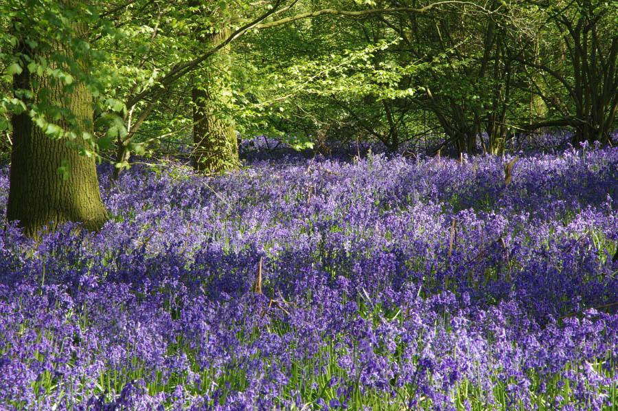 """""""""""bluebells in flower"""