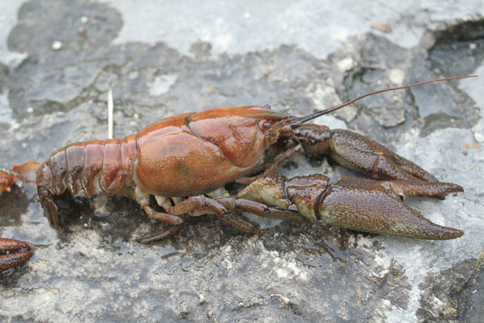 Return of the white-clawed crayfish