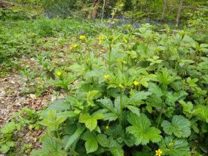 Large-leaved avens – Geum macrophyllum