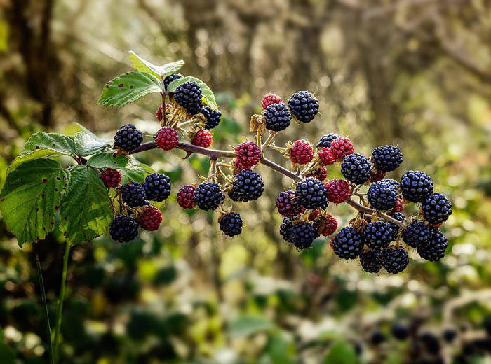 Midsummer bramble time